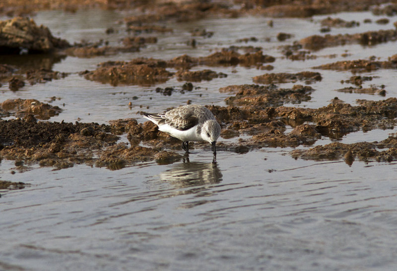 Sandlöpare<br>Sanderling<br>(Calidris alba)