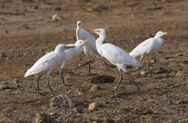 Kohäger<br>Western Cattle Egret<br>(Bubulcus ibis)