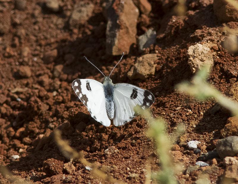 Ökenvitfjäril<br>Desert White<br>(Pontia glauconome)