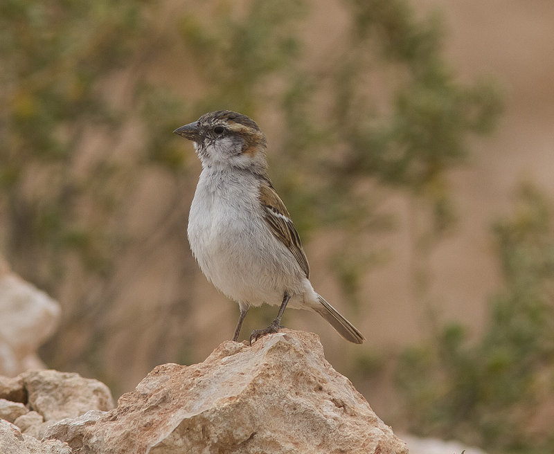 Kap Verdesparv<br>Iago Sparrow<br>(Passer iagoensis)
