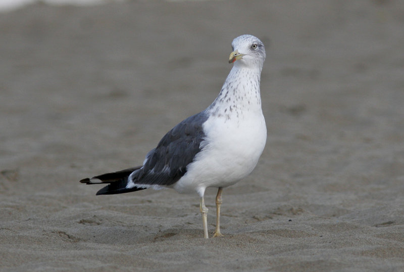 Silltrut<br/>Lesser Black-backed Gull<br/>(Larus fuscus)
