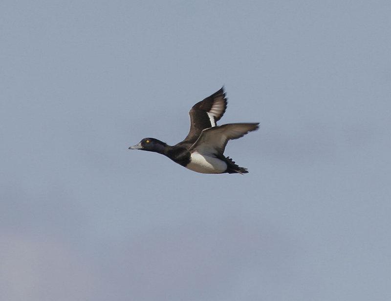 Vigg<br/>Tufted Duck<br/>(Aythya fuligula)
