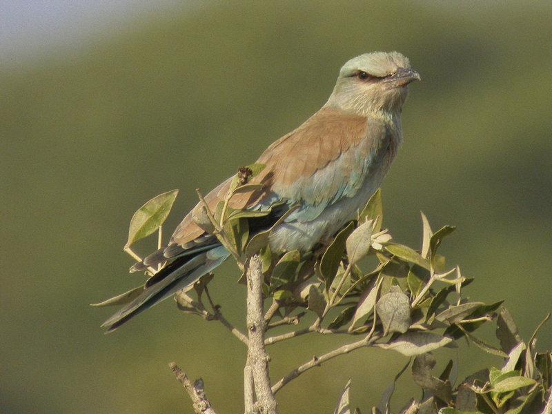 Blåkråka<br>European Roller<br>(Coracias garrulus)