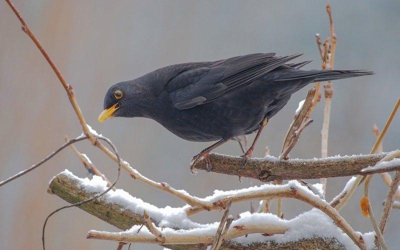 Common Blackbird/Turdus merula/Amsel
