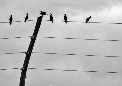 Cormorants, Tamiami Trail, Florida, 2013