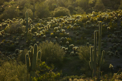Cactus in backlight, Gold Canyon, Arizona, 2013