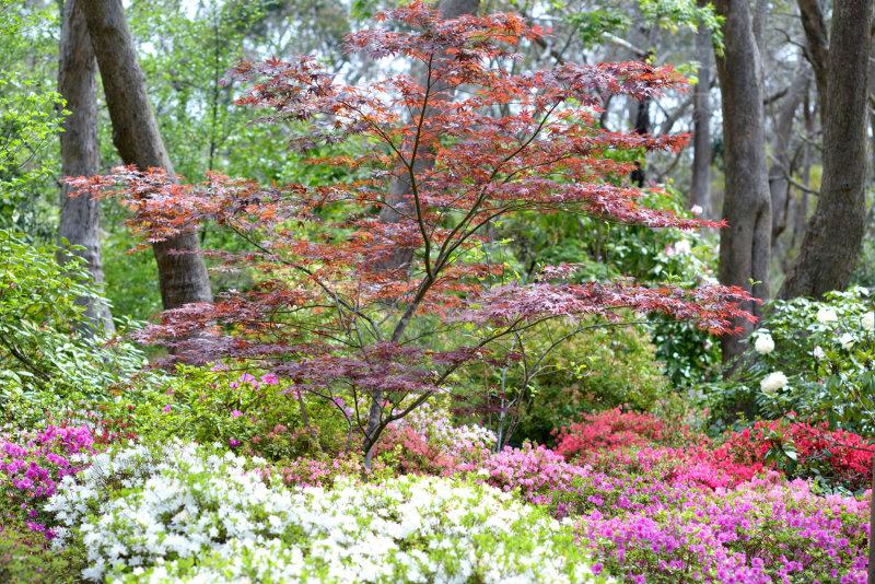 Rhodendrums Blackheath 21 Oct 12 105mm F2.5 Japanese Maple and garden.jpg