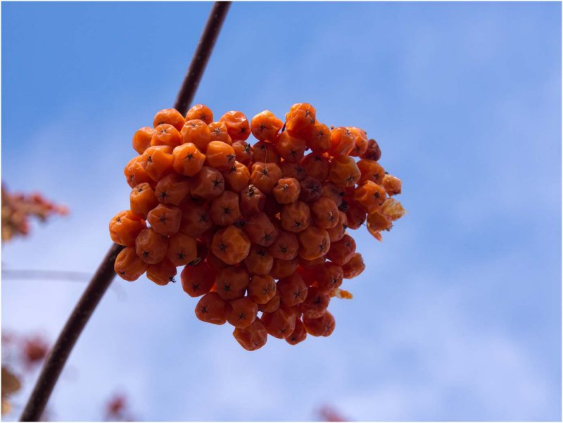 Bird Food - Mountain Ash berries