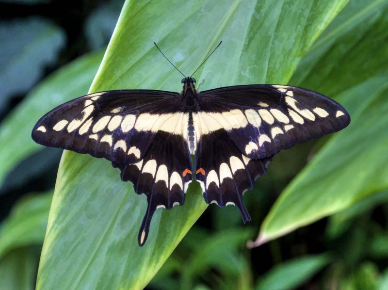 Giant Swallowtail Butterfly (Papilio cresphontes)