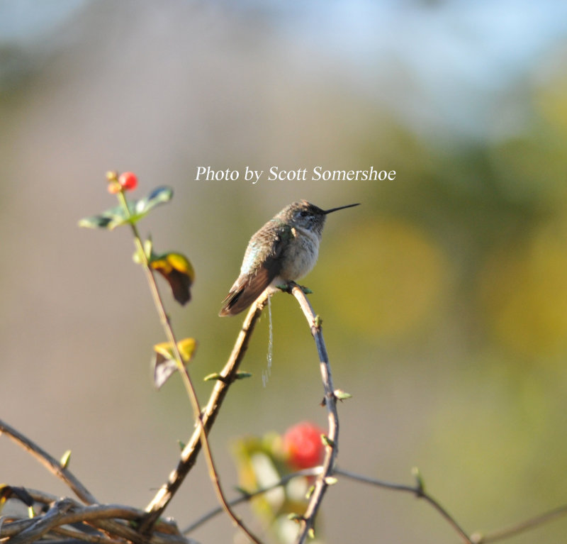 Calliope Hummingbird relieving itself