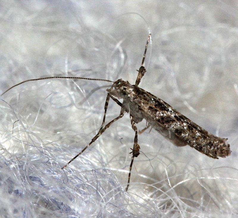 0637, Caloptilis serotinella