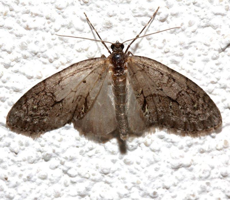 7637, Cladara limitaria, dark form