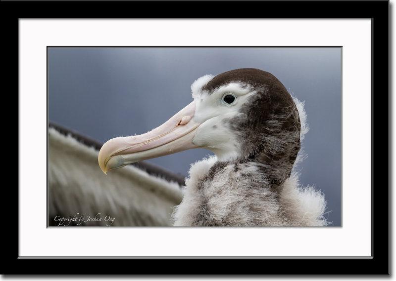 Close-up of Wandering Albatross Chick