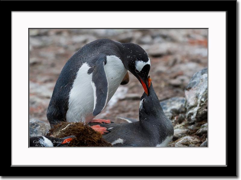 Mating Gentoo Penguins
