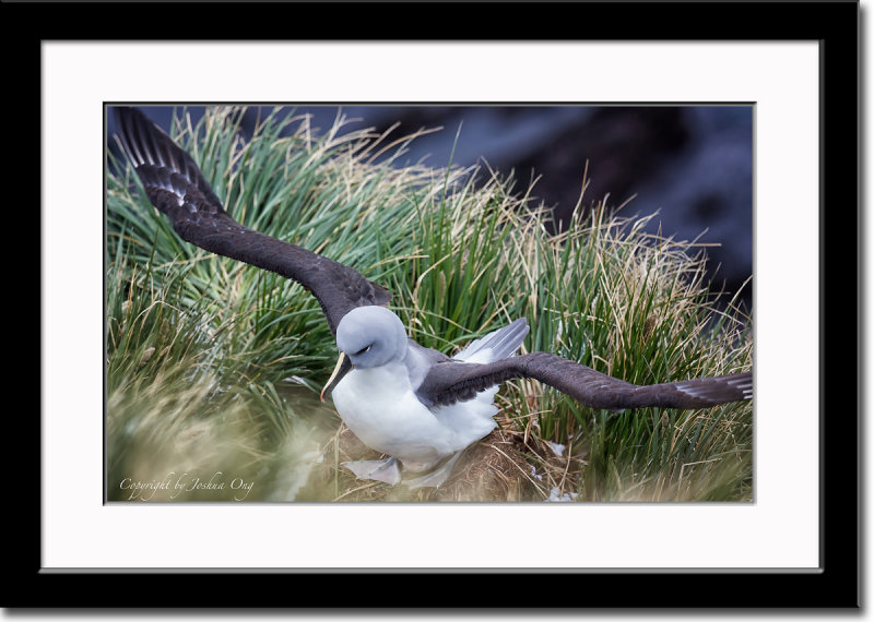 Nesting Grey-Headed Albatross