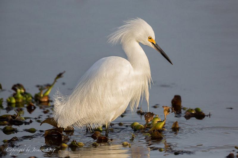 Juvenile White Egret