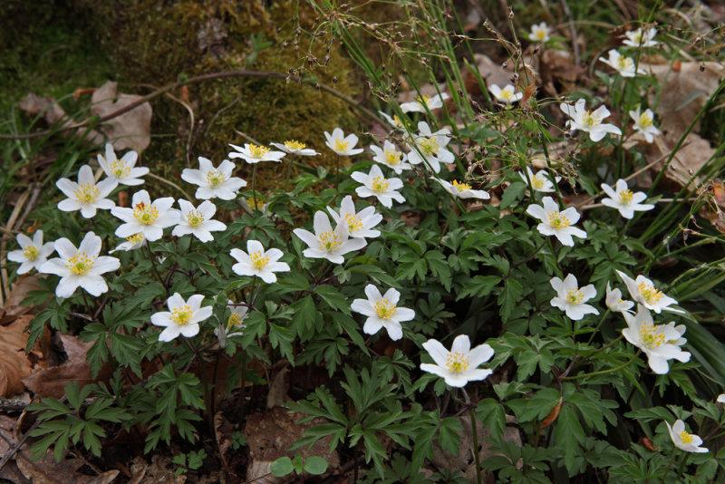 Anemone memorosa (IMG_6664m.jpg)