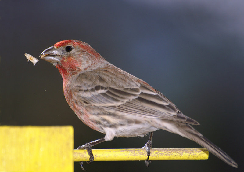 House Finch Eating Sunflower Seed.