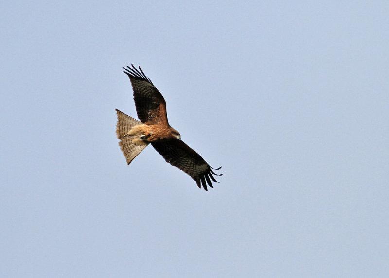 Black-eared Kite