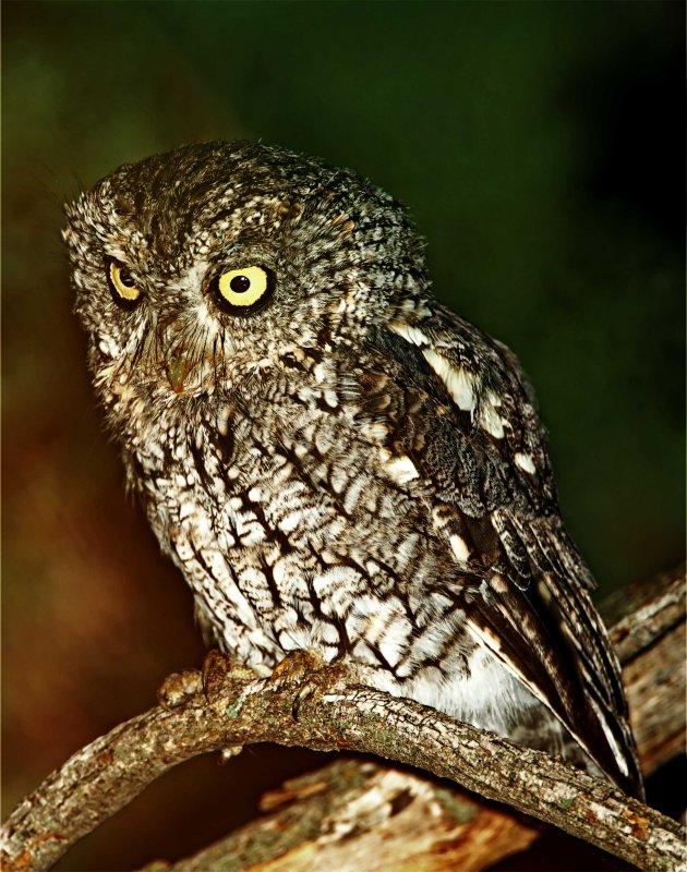 Whiskered Screech-Owl_4071.jpg