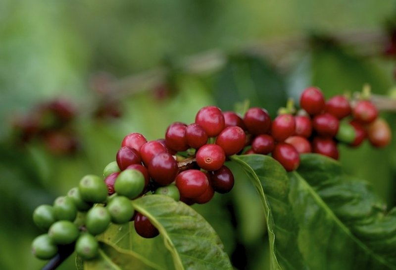 Kona coffee cherries VII