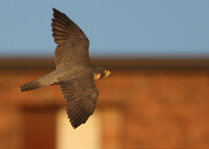 Peregrine Falcon, adult female