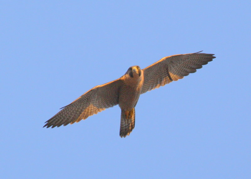 Peregrine adult in flight