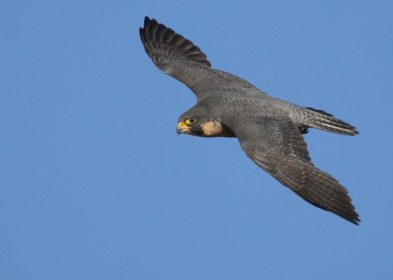 Peregrine in flight, female