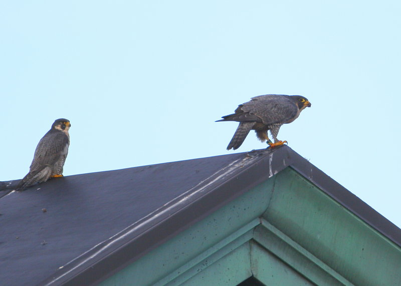 Peregrines atop the roof