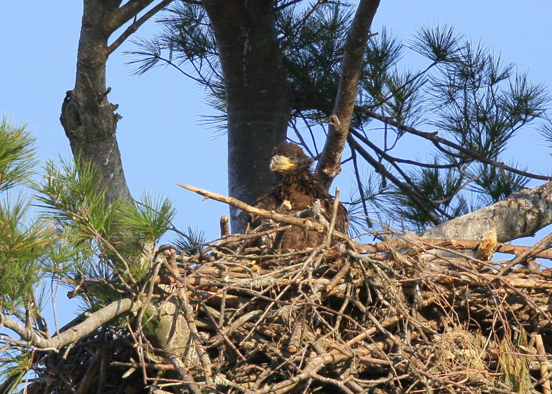 Bald Eagle chick in nest alone