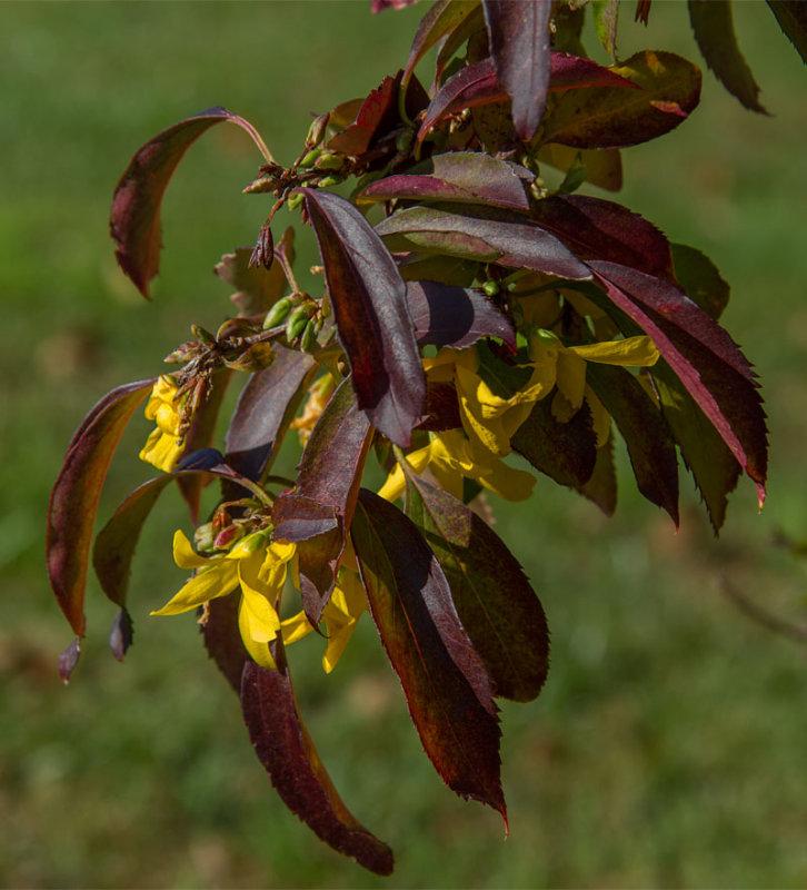 _MG_1285 Forsythia in Bloom in Fall?