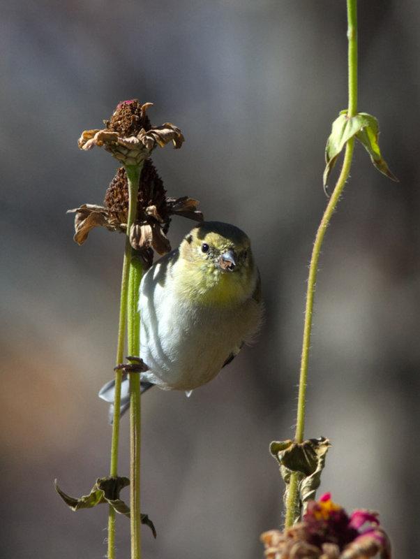 _MG_1454 American Goldfinch on Zinnia