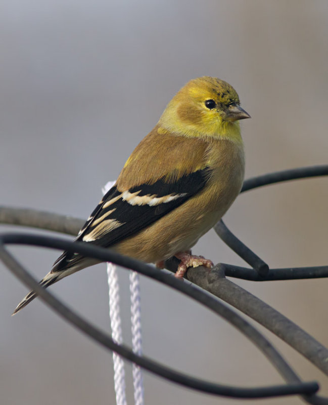 _MG_2334 Patiently Waiting American Goldfinch