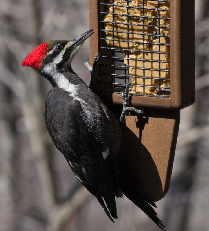 Female Pileated Woodpecker through Double Paned Tinted Glass