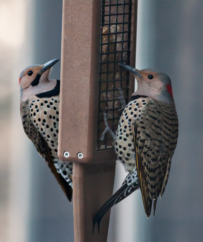 Bookends - Male and Female North Flickers