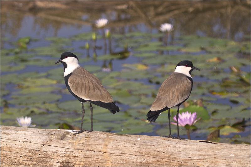 Spur-Winged Plovers at Safari Park.jpg