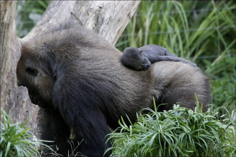 Newborn Baby Gorilla and Mum.jpg