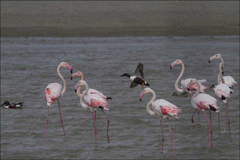 Flamingos at Maayan Tzvi.jpg