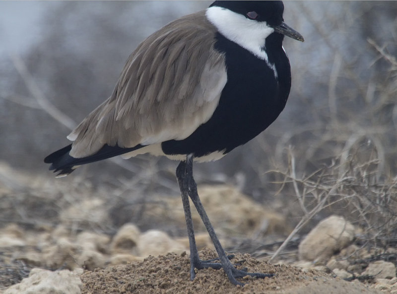 Closeup of a Spurwing Lapwing