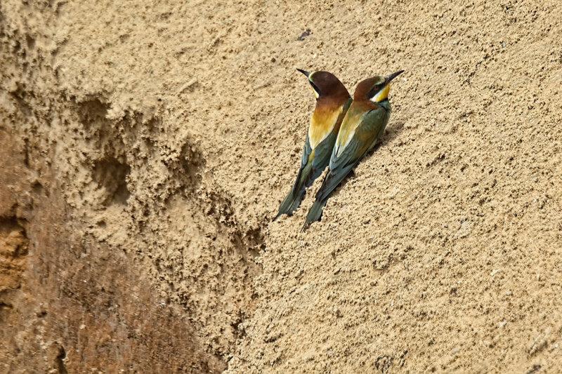 Two Baby Bee-Eaters.jpg