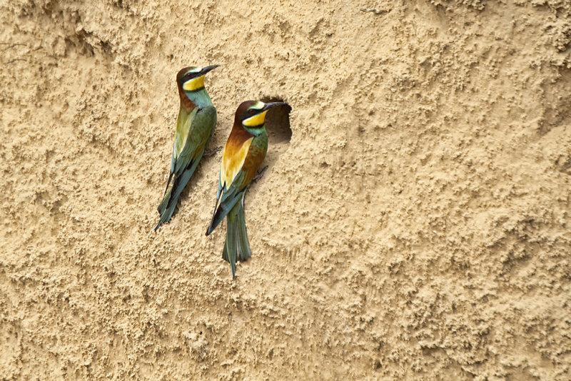 Baby Bee-Eaters 2.jpg