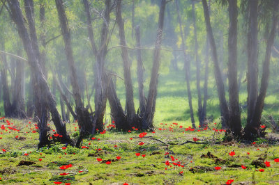 Misty Morning in Shokeda Forest with Calaniot, Israels national flower