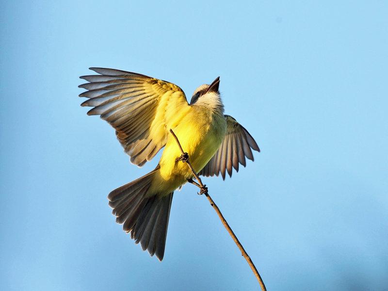 Couchs Kingbird - Tyrannus couchii