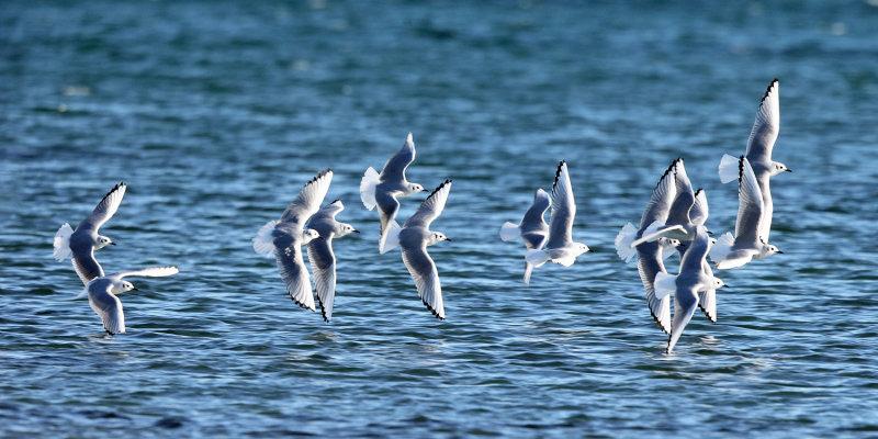 Bonapartes Gulls - Chroicocephalus philadelphia