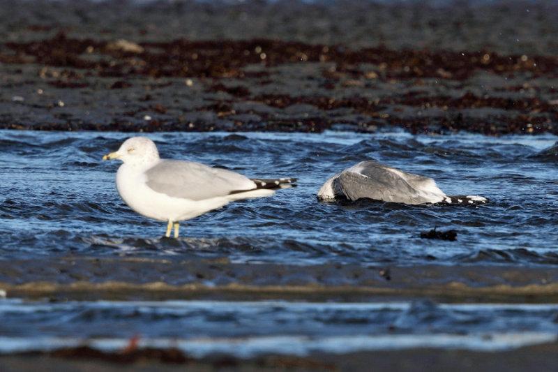 Mew Gull - Larus canus (bathing)