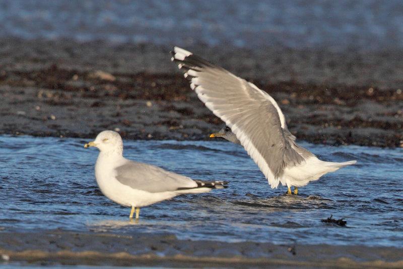 Mew Gull - Larus canus & Ring-billed Gull - Larus delawarensis