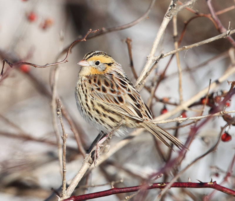 Le Contes Sparrow - Ammodramus leconteii