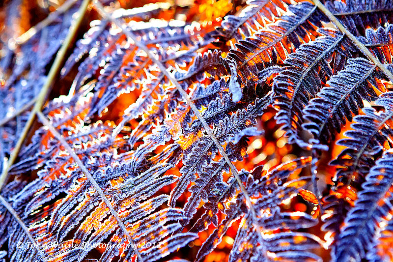 Frosted Ferns Back-lit by Winter Sunshine
