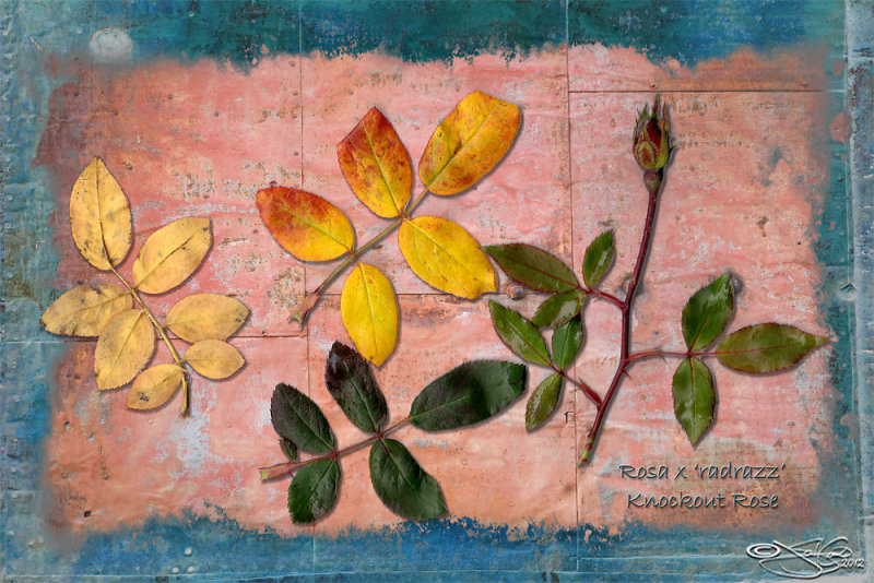 339:366<br>Rosa Study
