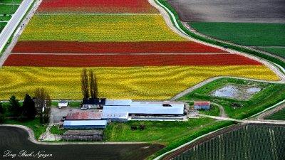 tulip field, Mt Vernon, Washington